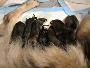 Mama Bear Dog Fairah and her new babies!
