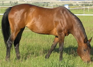 This is not my horse.  This is a bay mare.  But this horse has black leg warmers.  And so does mine. Image credit here.