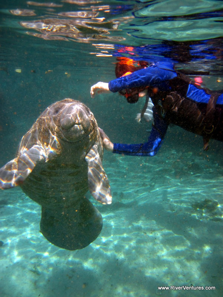 Manatees are really strange looking.  Image credit here.  Also, check these guys out if you want to go snorkeling with manatees; they are really cool cats.